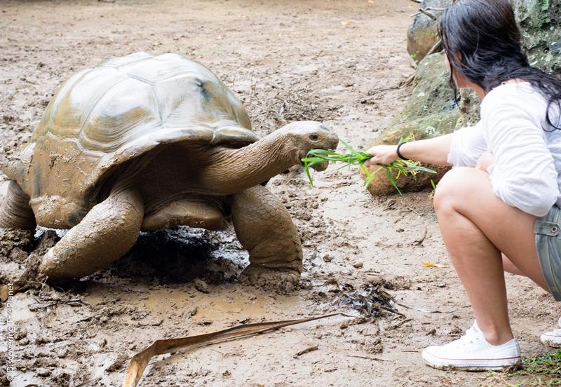 Aldabra, giant tortoise Mauritius by © Daniela Nasteska Olsson