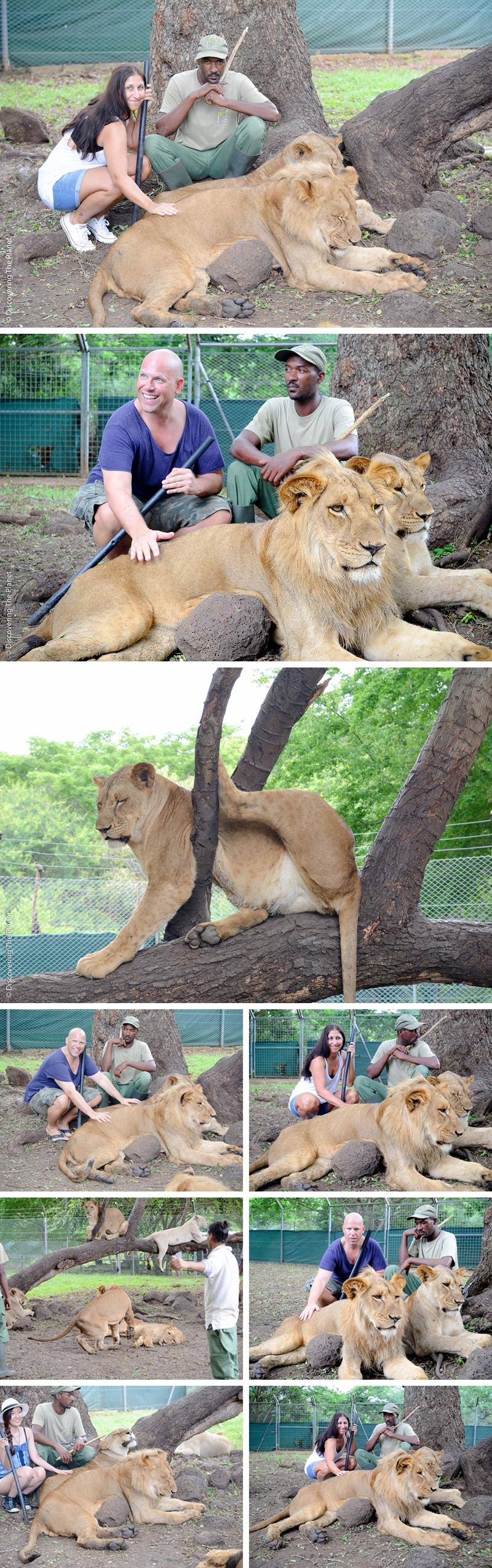 Lions in Mauritius by © Daniela Nasteska Olsson