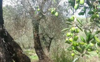 Italien Olivolja