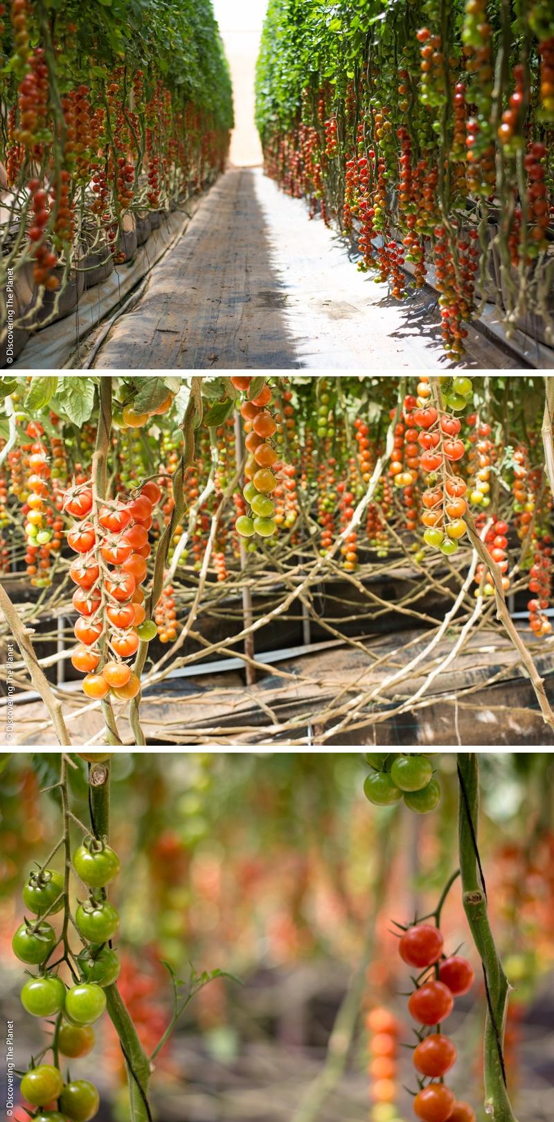 Västsahara, Tomatodling 2