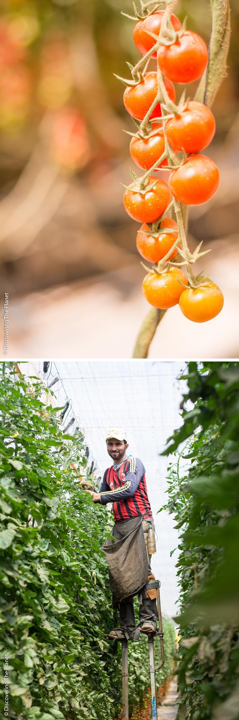 Västsahara, Tomatodling 3
