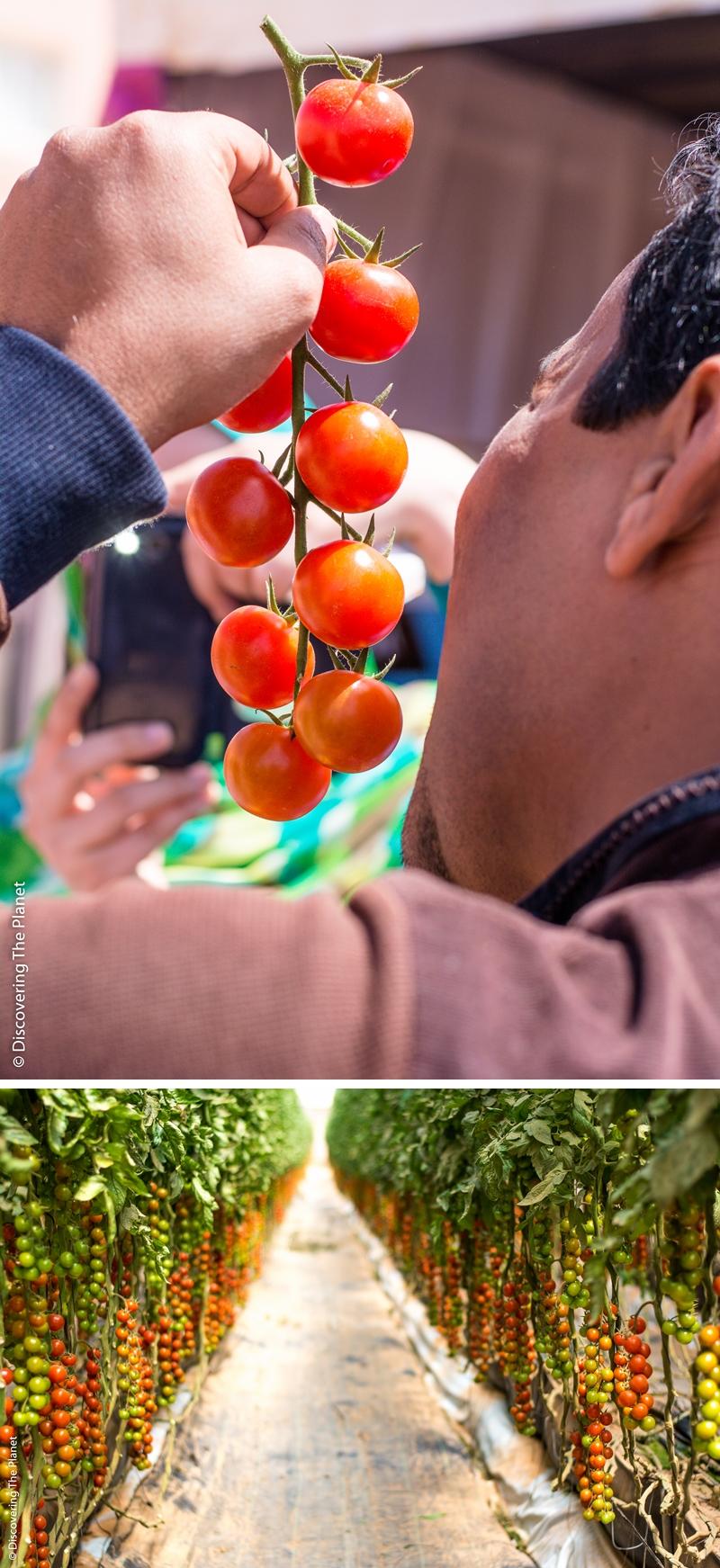 Västsahara, Tomatodling 4