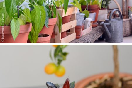Chilipeppar och chilipulver
