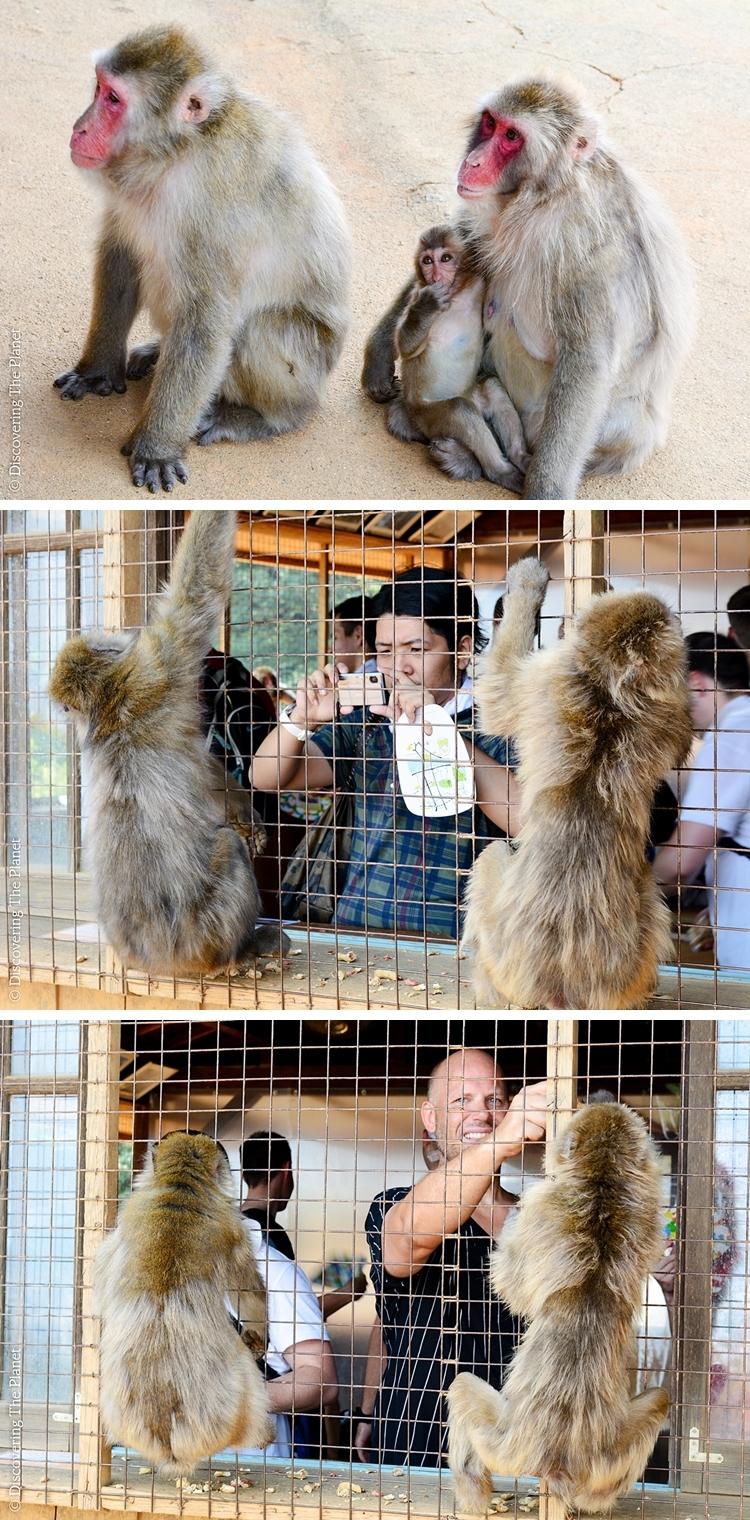 Japan, Arashyima Monkey 4