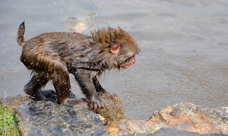Japan, Arashyima Monkey