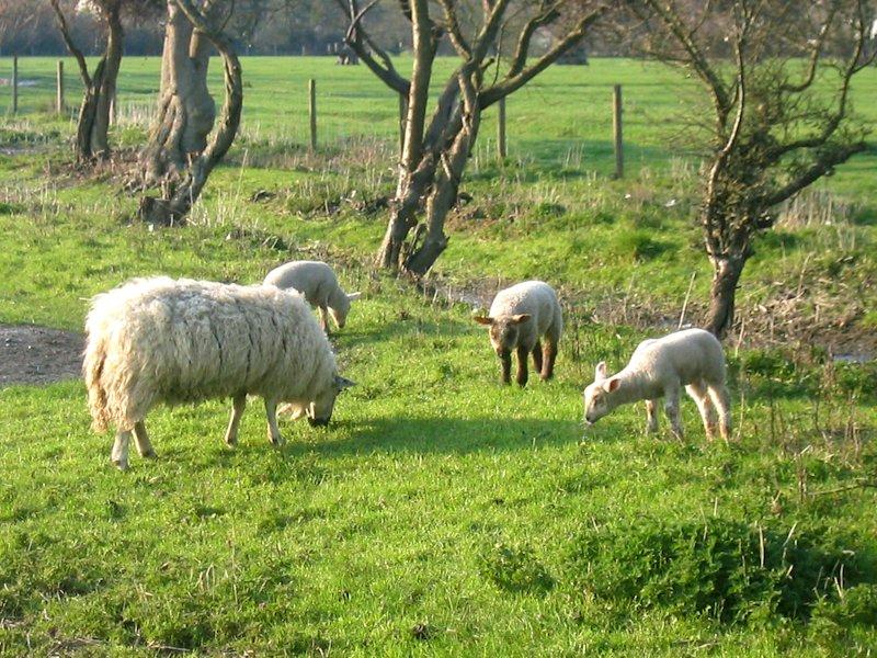 Storbritannien, salisbury_sheep