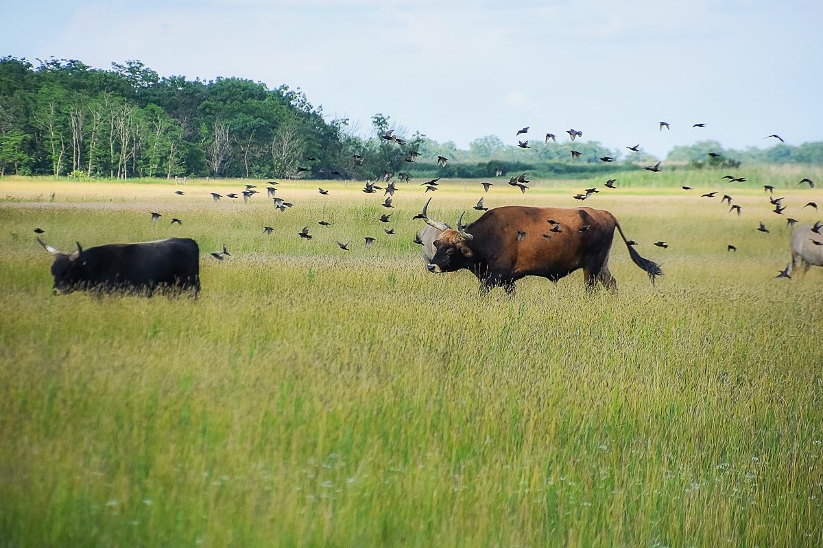 Ungern, Hortobagy Safari (3)