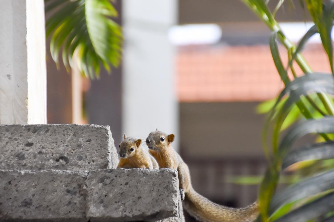 Indonesien, Bali, Sanur, Ekorrar